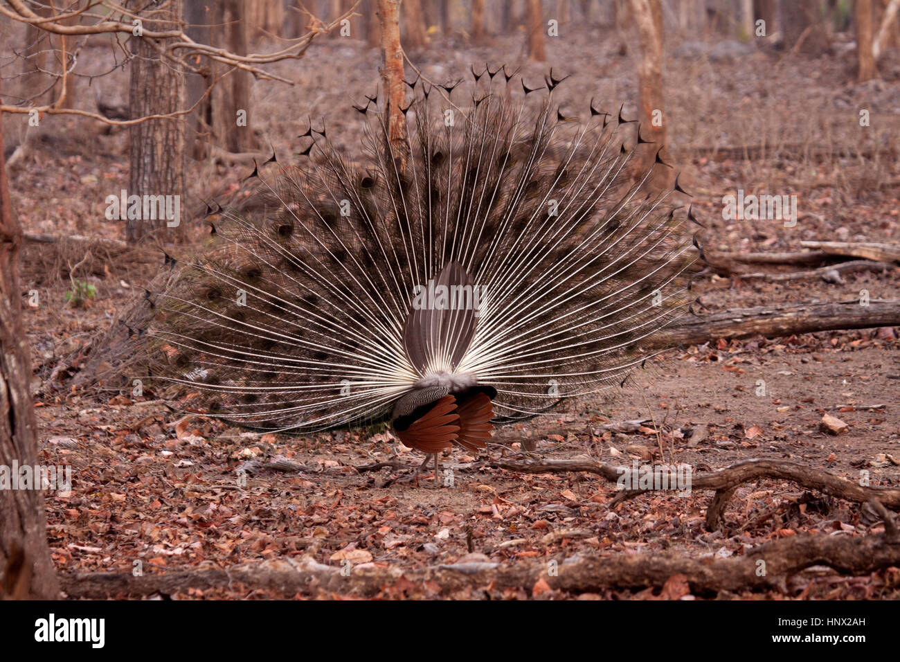 Indian peacock displaying with rear view of fanned out tail - Stock Image