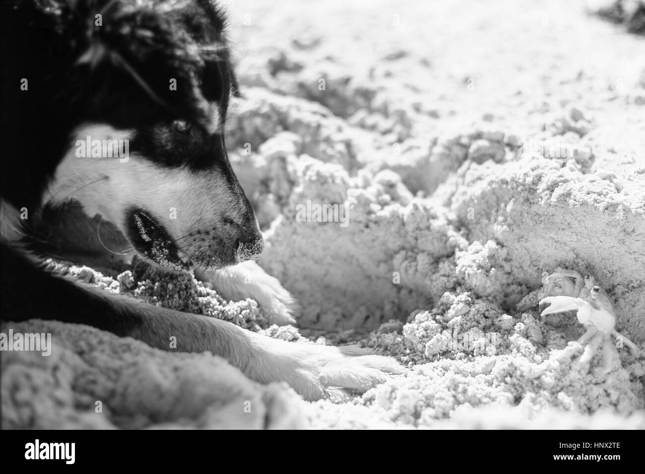 A stand-off  between a German Shepherd MIxed breed dog and a sand crab - Stock Image