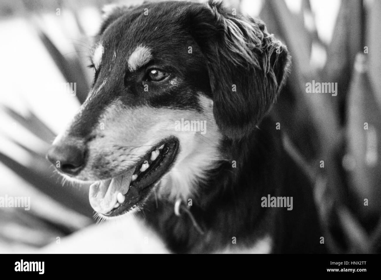 Jas, a loyal German Shepherd MIxed Breed dog on Cat Island, Bahamas, in 1971 - Stock Image