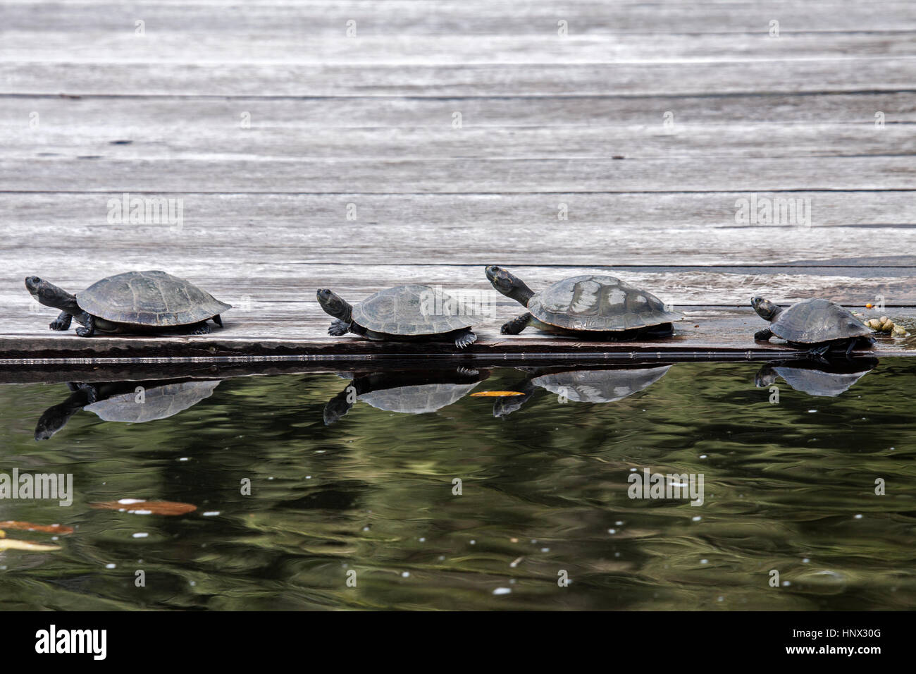 Yellow spotted river turtles basking on floating pier in Brazil - Stock Image