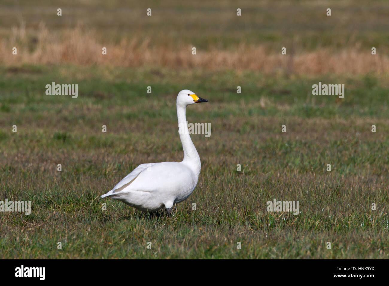 Tundra swan (Cygnus columbianus) / Bewick's swan (Cygnus bewickii) foraging in meadow Stock Photo