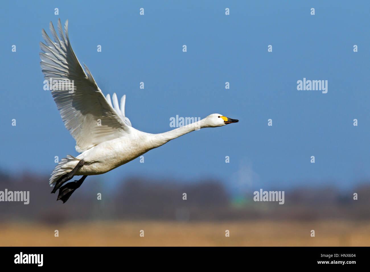 Tundra swan (Cygnus columbianus) / Bewick's swan (Cygnus bewickii) taking off in spring - Stock Image
