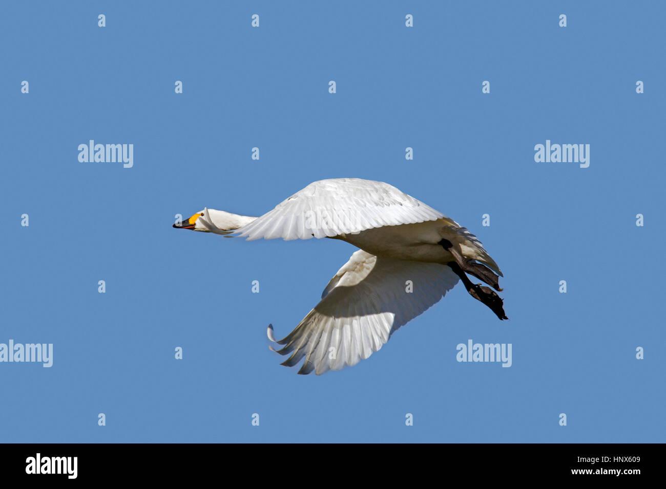 Tundra swan (Cygnus columbianus) / Bewick's swan (Cygnus bewickii) in flight against blue sky Stock Photo