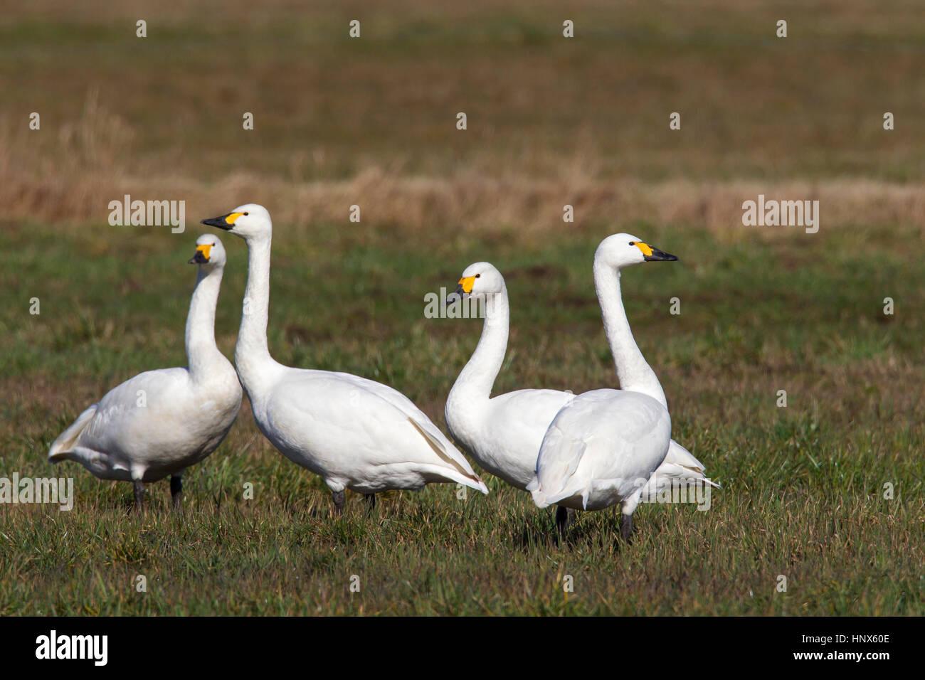Tundra swans (Cygnus columbianus) / Bewick's swans (Cygnus bewickii) flock foraging in meadow in spring - Stock Image