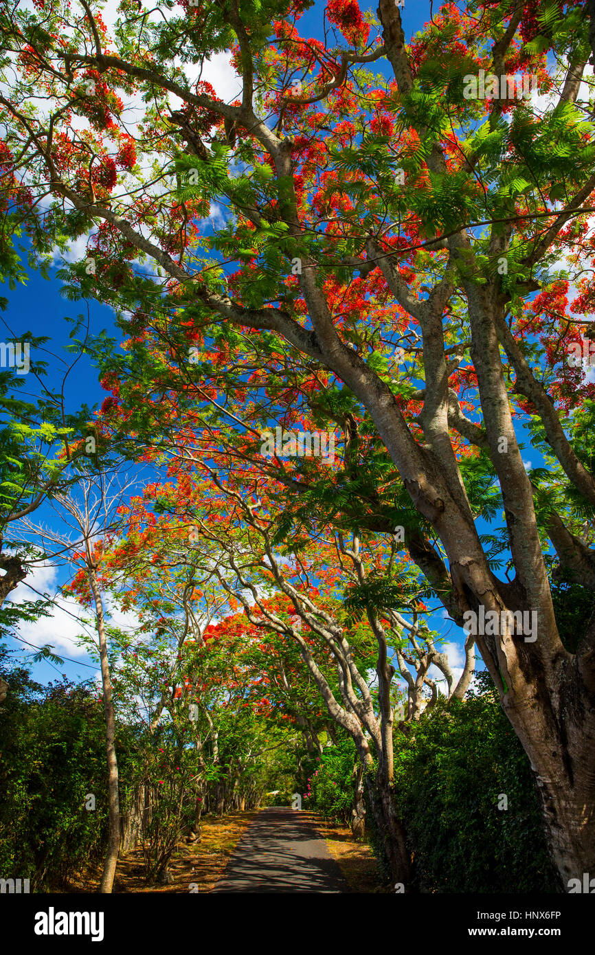 Royal poinciana trees, Pereybere, Mauritius - Stock Image