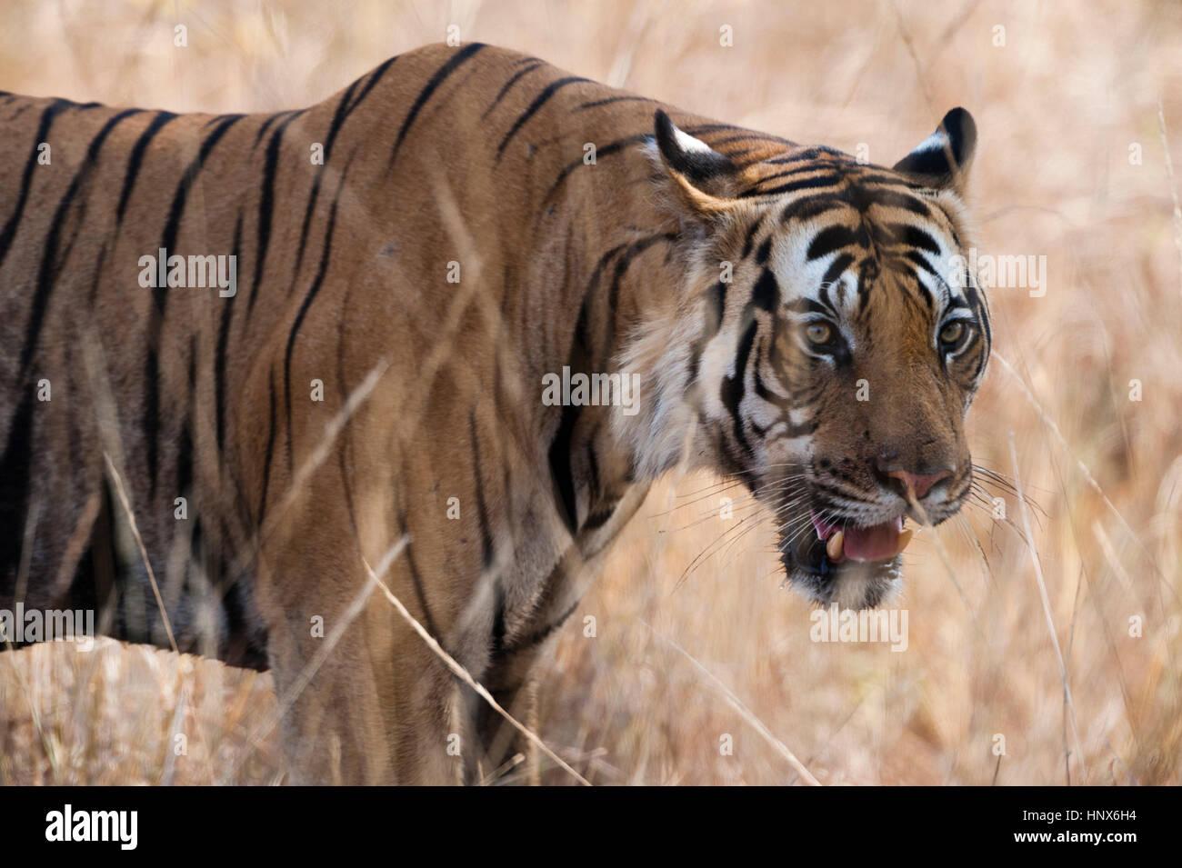 Bengal tiger (Panthera tigris tigris), Bandhavgarh National Park, India - Stock Image