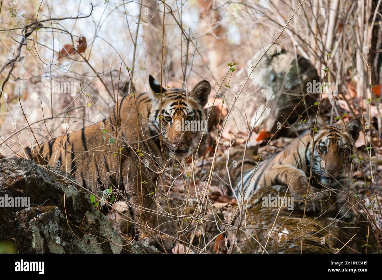 Bengal tiger cubs (Panthera tigris tigris), Bandhavgarh National Park, India - Stock Image