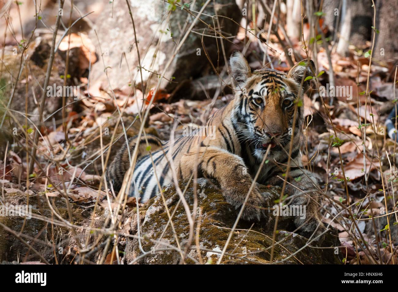 Bengal tiger cub (Panthera tigris tigris), Bandhavgarh National Park, India - Stock Image