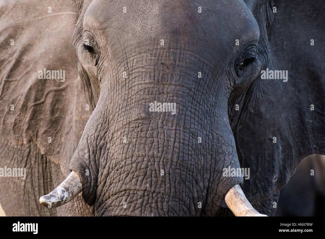 Close up portrait of elephant (Loxodonta africana), Khwai concession, Okavango delta, Botswana - Stock Image