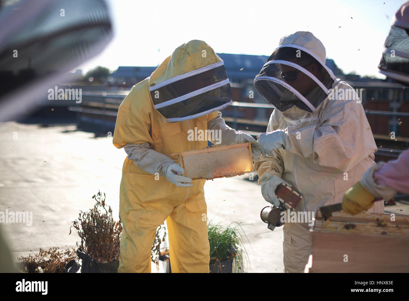 Beekeepers inspecting honeycomb tray on city rooftop - Stock Image