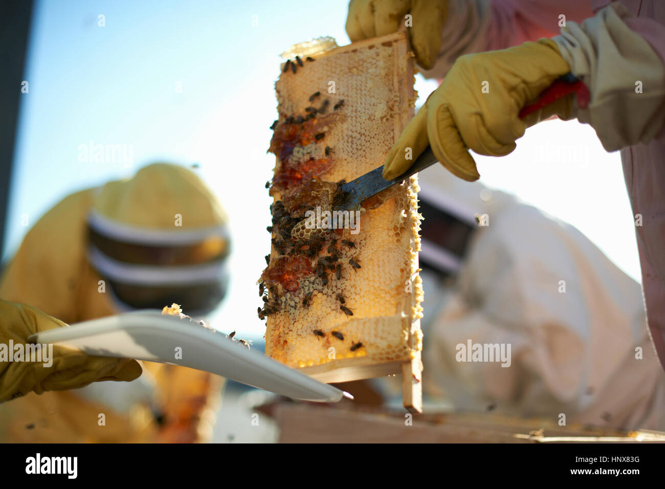 Beekeepers scraping honeycomb tray on city rooftop - Stock Image