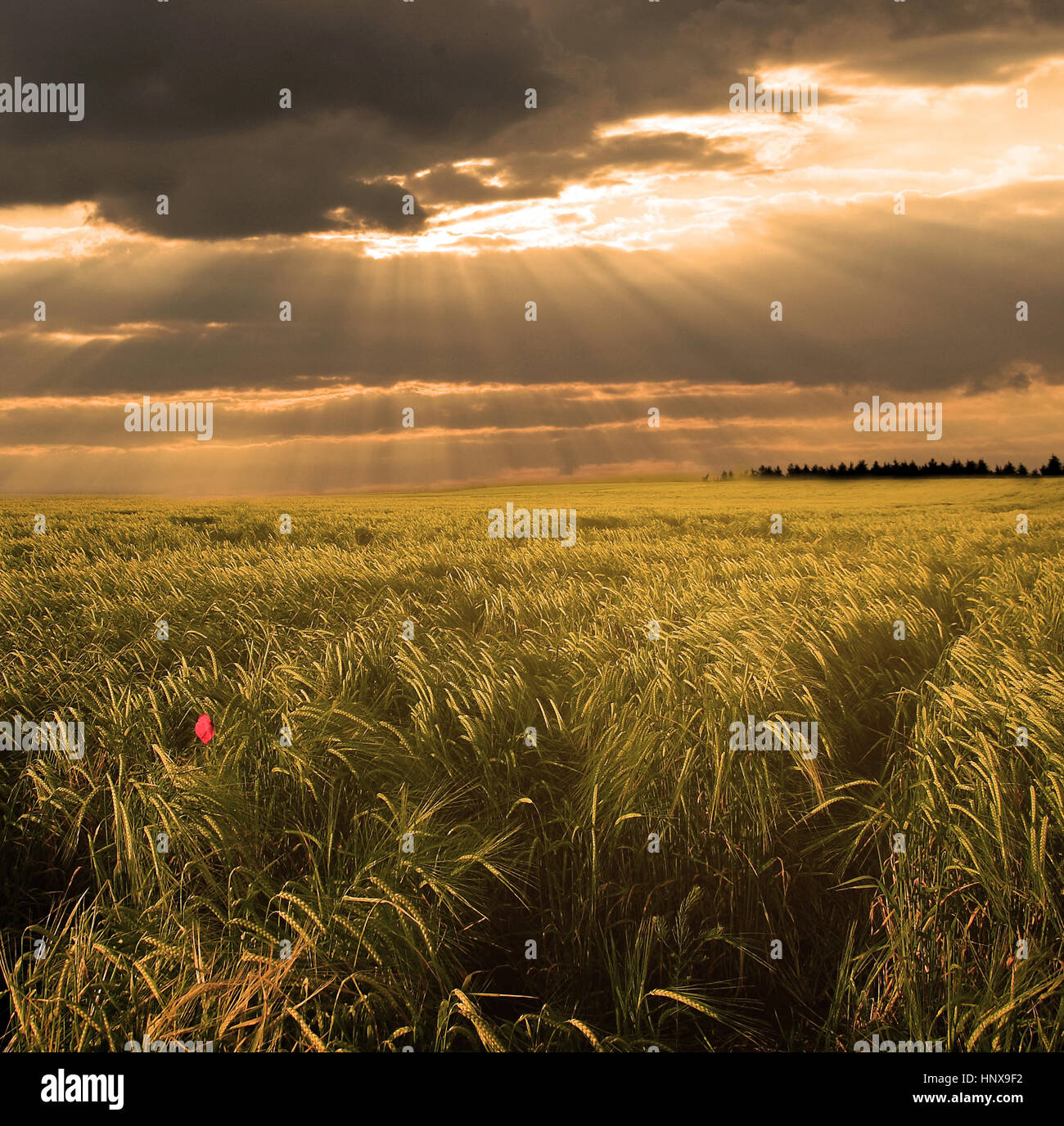 Wheat field in sunset - Stock Image