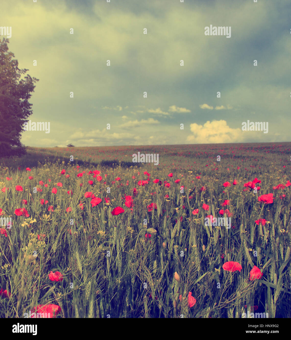 Vintage photo of poppy field in sunset - Stock Image