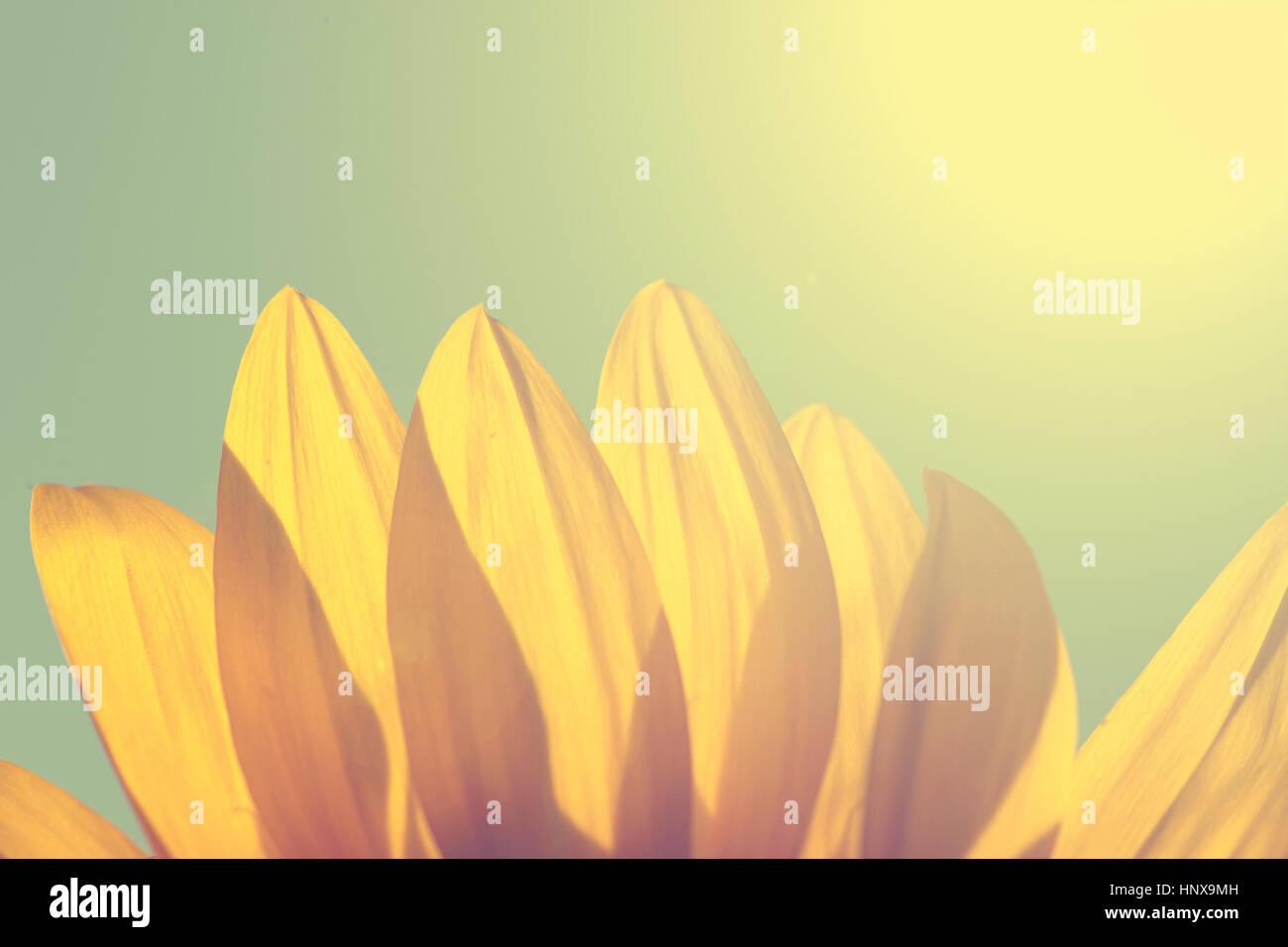 Sunflower in sunset - Stock Image