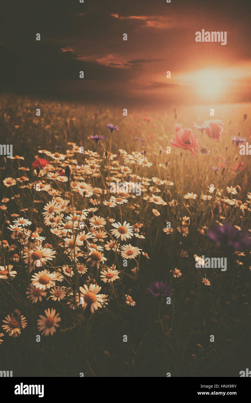 Rural landscape with lots of wild flowers in sunset - Stock Image