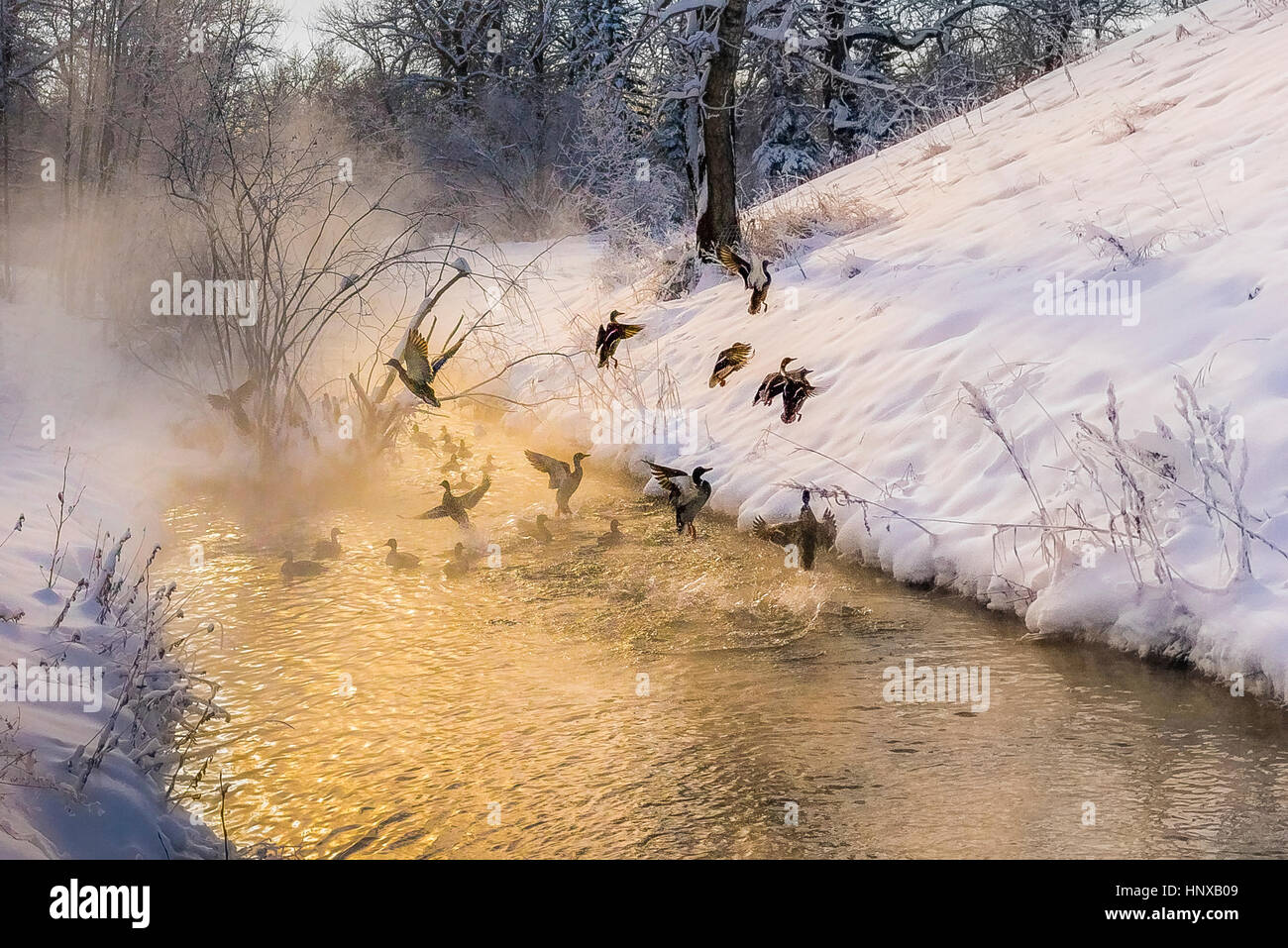 Mallard ducks in stream. Reconstructed Wetland Habitat, Pearce Estate Park,  Calgary, Alberta, Canada. - Stock Image