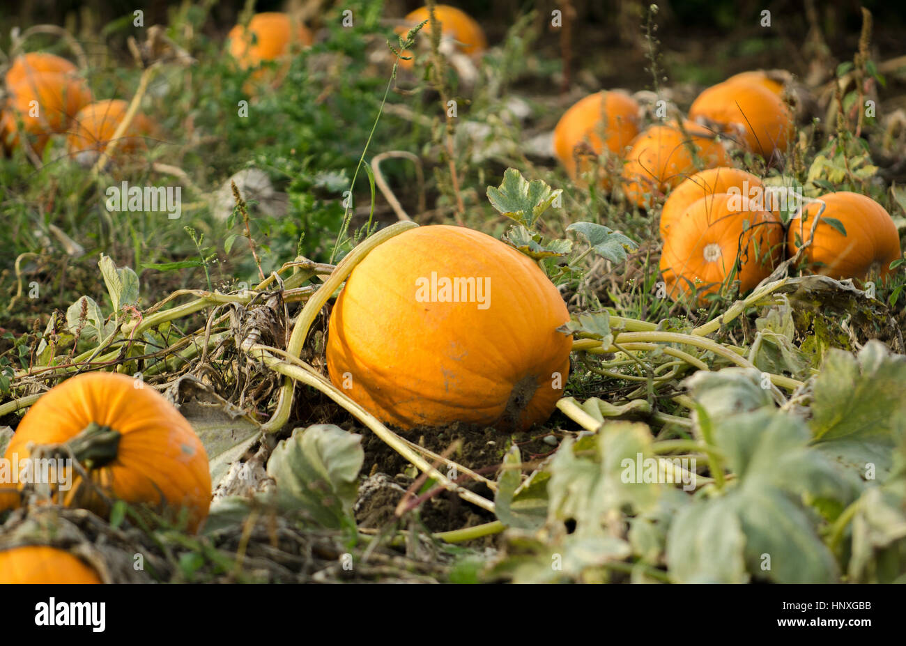 Pumpkins in field - Stock Image
