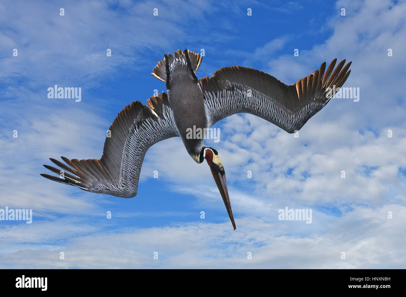 Plunge Diving Brown Pelican (Pelecanus occidentalis) against blue sky with clouds. - Stock Image