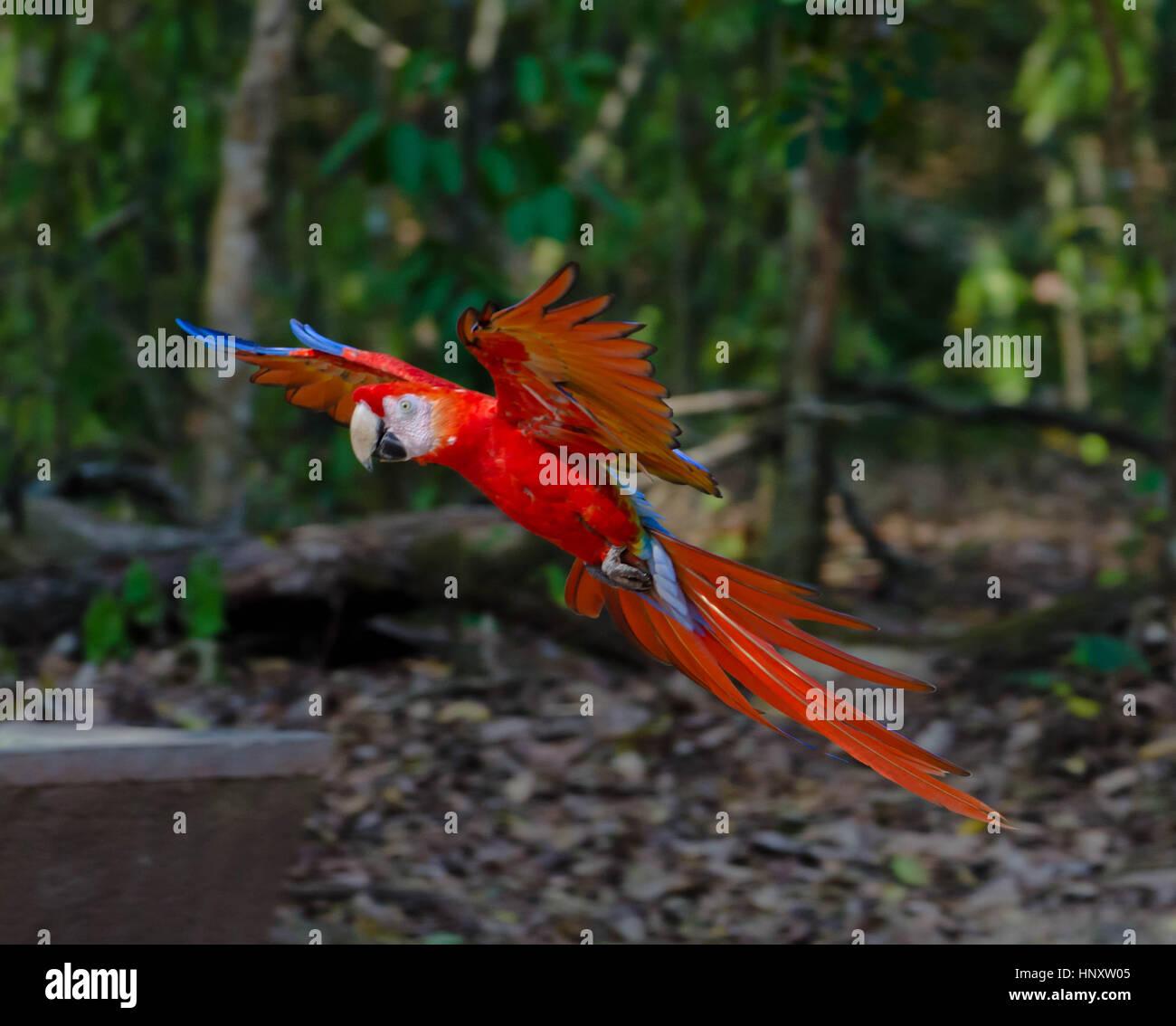 Scarlet macaw landing on jungle floor - Stock Image