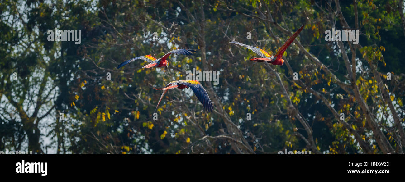 Group of wild scarlet macaws flying by sunny jungle canopy - Stock Image