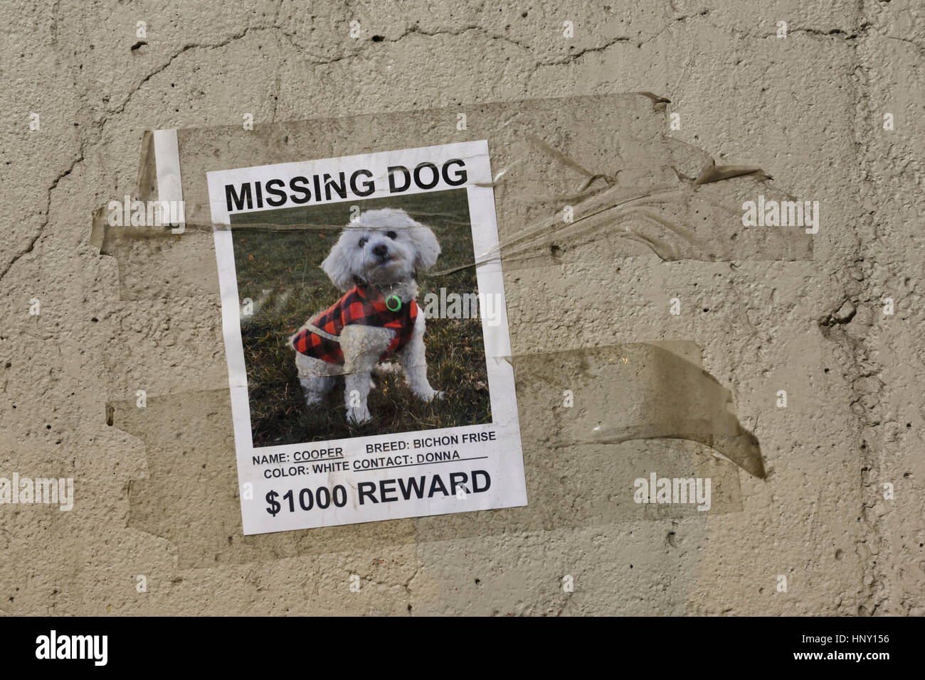 Poster taped to a concrete wall for a beloved missing pet dog a white Bichon Frise with offer of reward money - Stock Image