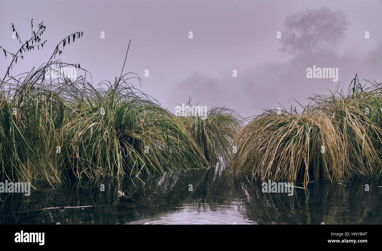 Carex paniculata - Greater Tussock Sedge - Stock Image