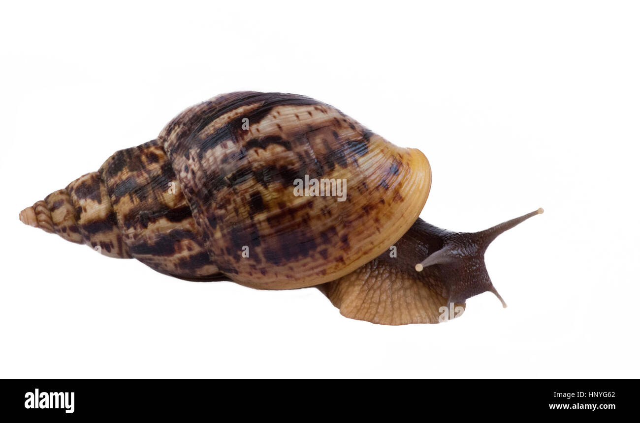 African snail Achatina large in a brown shell on a white background Stock Photo