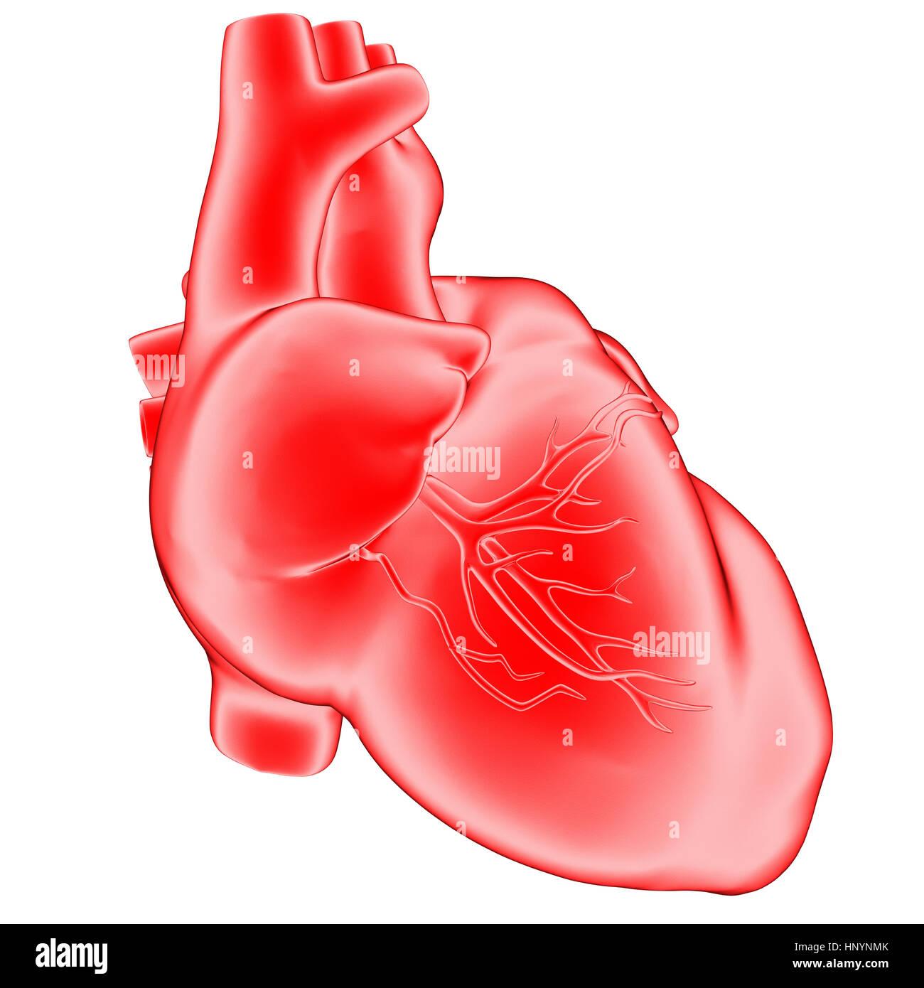 3d Illustration Anatomy Human Heart Stock Photos & 3d Illustration ...