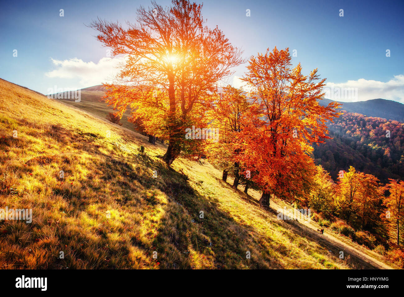 birch forest in sunny afternoon while autumn season  - Stock Image