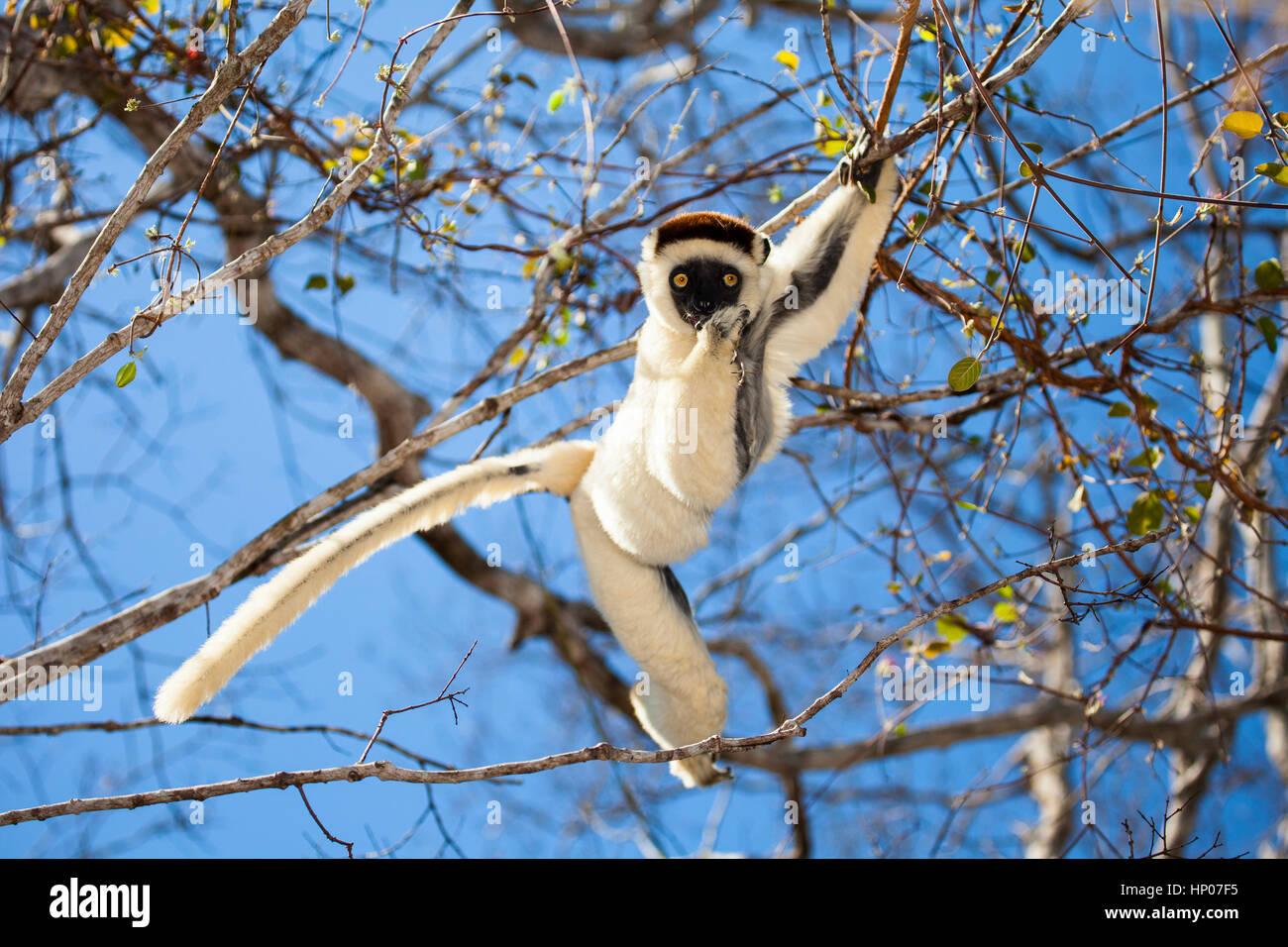 Verreaux's Sifaka, Propithecus verreauxi, Kirindy Forest Reserve, Western Madagascar, by Monika Hrdinova/Dembinsky Stock Photo