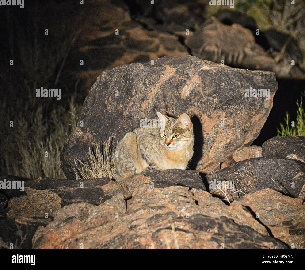 An African Wildcat seen at night crouched on rocks in the Southern African savanna - Stock Image