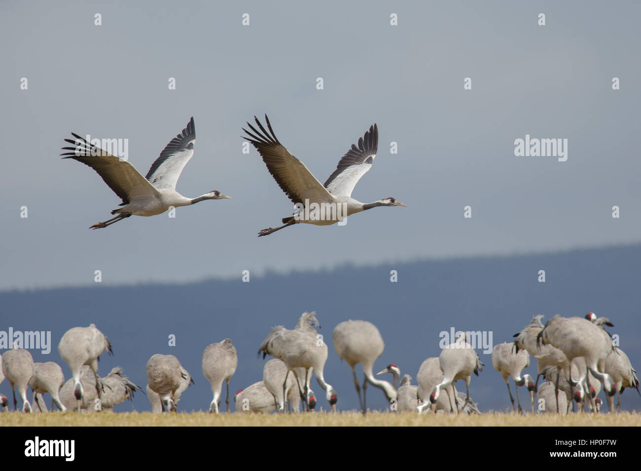 Two cranes (Grus grus) flying over a group of cranes on their migration stopover in Sweden,. Stock Photo