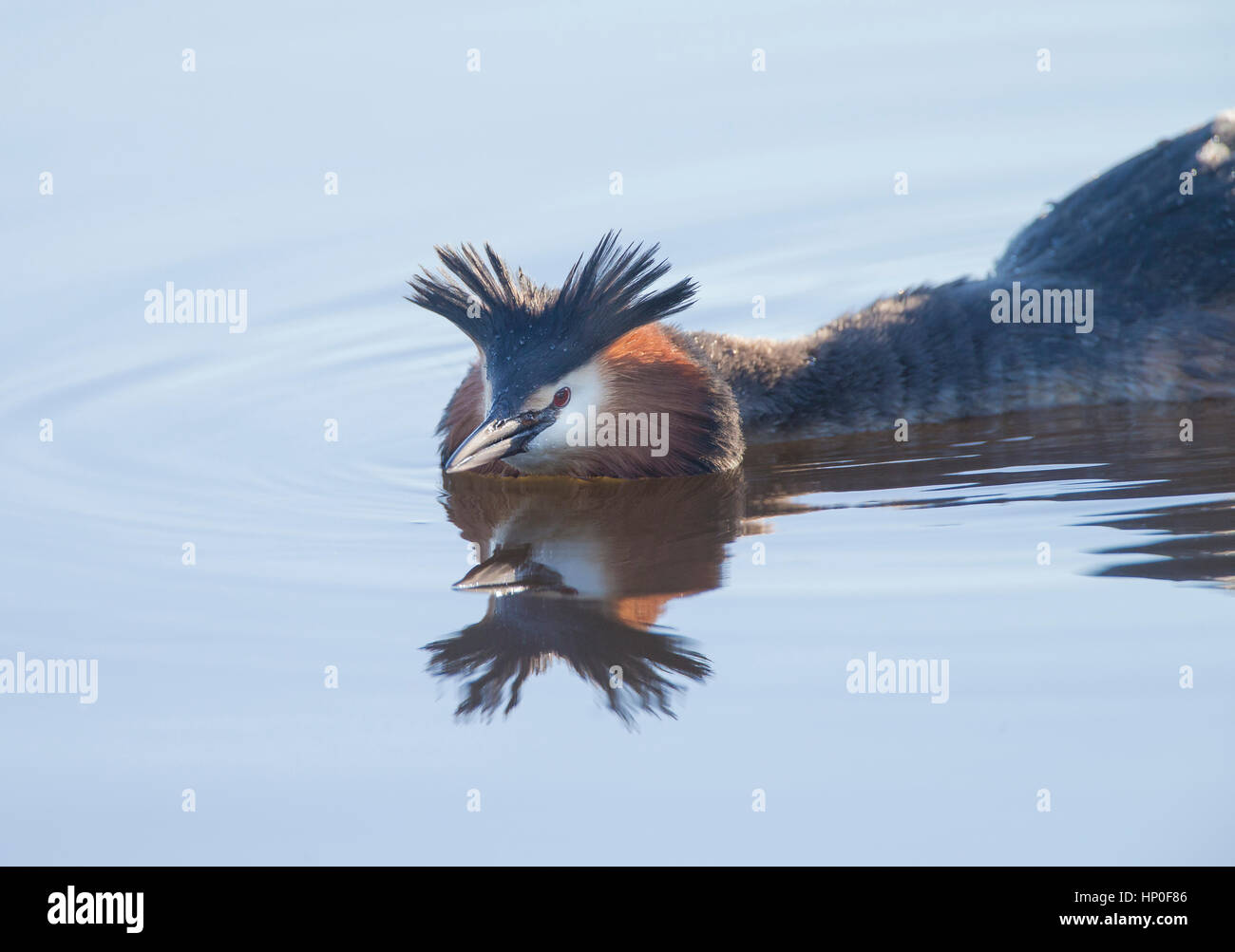 Male great crested grebe (Podiceps cristatus) displaying his crest whilst swimming low in the water, defending his - Stock Image