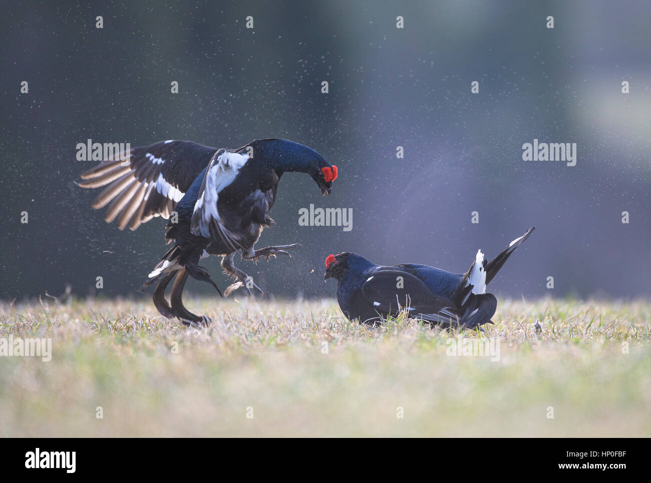 Two Male Black Grouse ( Lyrurus tetrix) fighting each other at an early morning lek - Stock Image