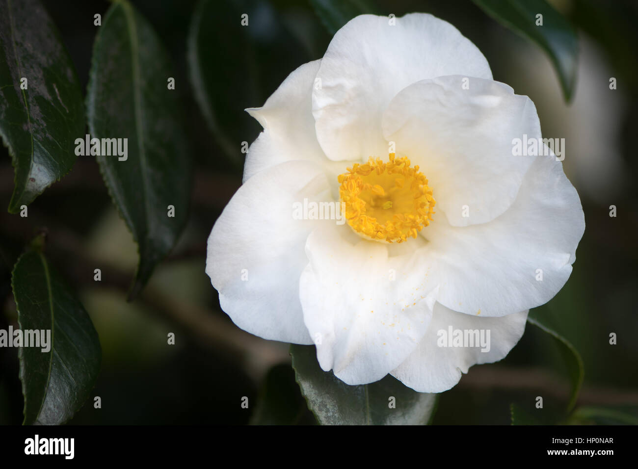 White camellia in flower with yellow stamens single flower with white camellia in flower with yellow stamens single flower with seven regular petals with prominent display of stamens and pistils mightylinksfo