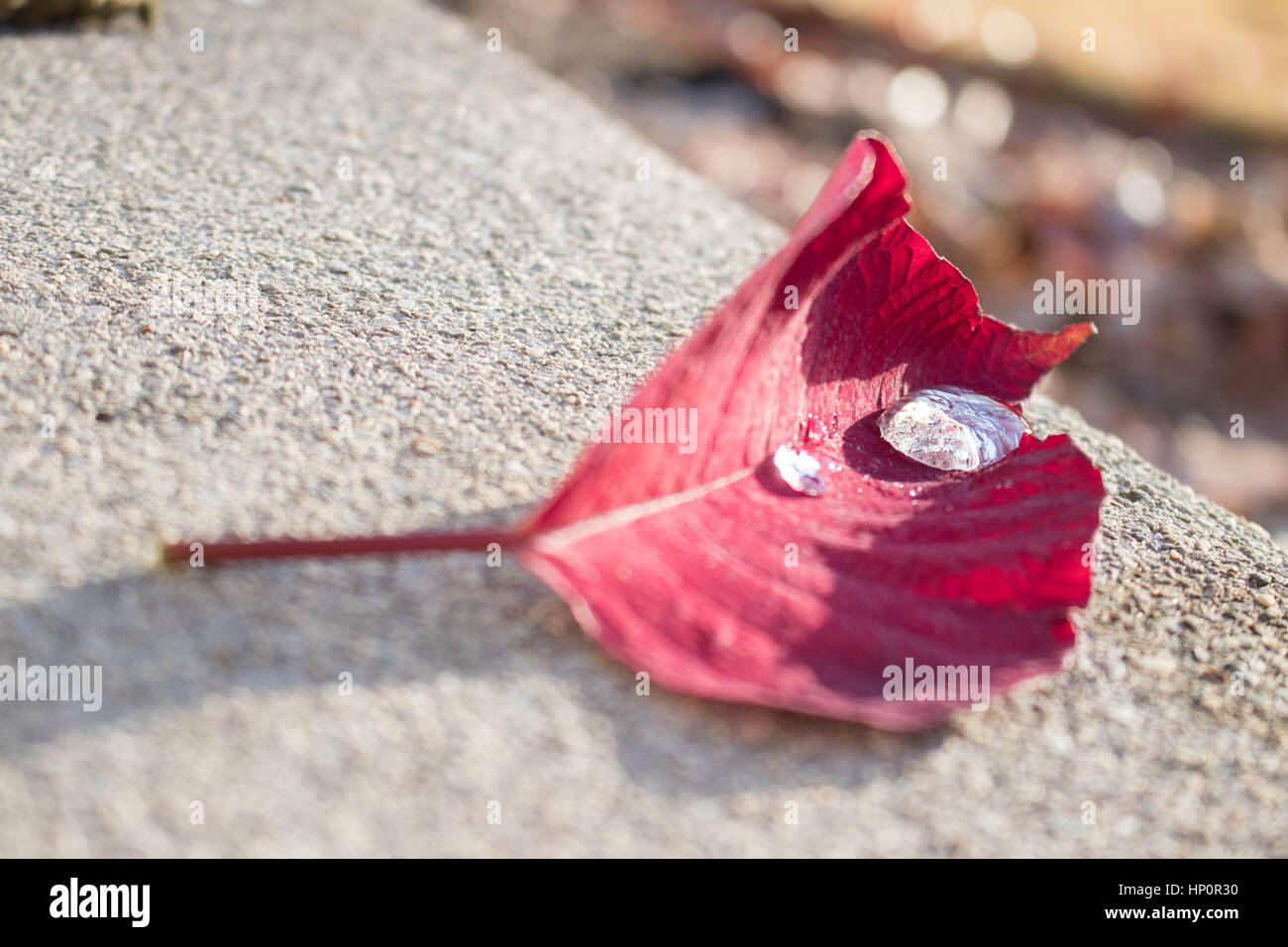 Poinsettia Petal with Reflections in Water Droplets Landscape - Stock Image