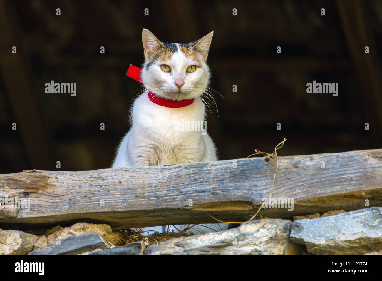 White and ginger cat with red collar looking out of dark stone barn Stock Photo