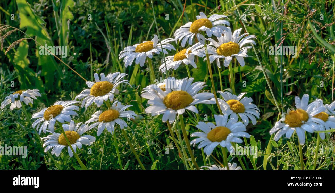 Chamomile flowers (Matricaria chamomilla, Matricaria recutita) in a field near Perm, Ural, Russia - Stock Image