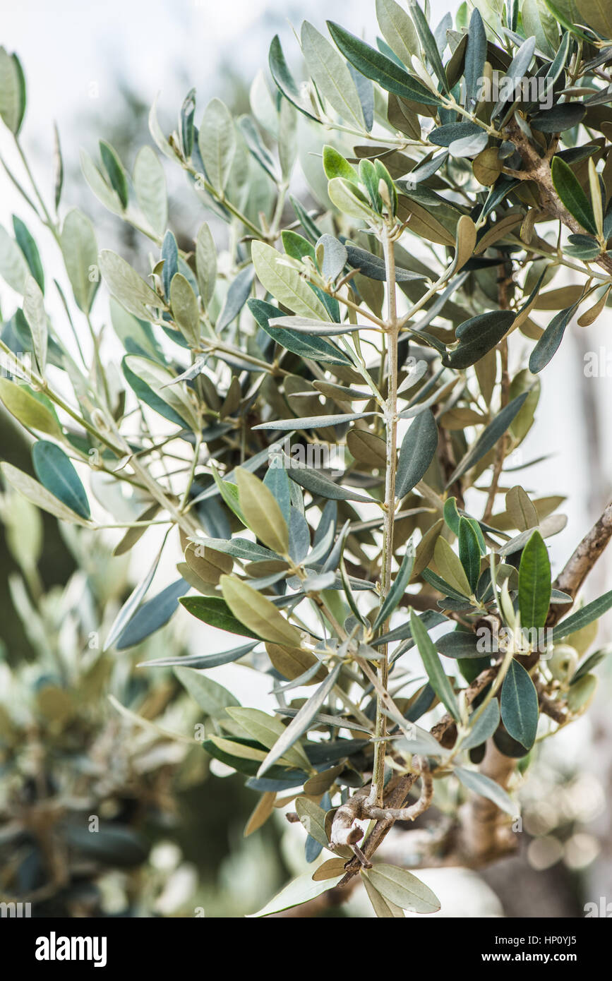 Spanish olive trees leaves in macro view Stock Photo