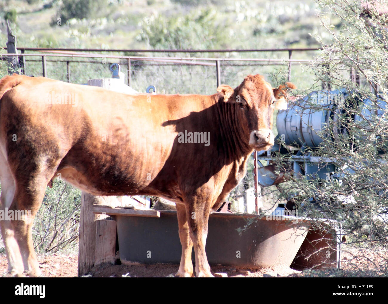 This is a cow in Cordes Az standing near trough and fence staring at photographer - Stock Image