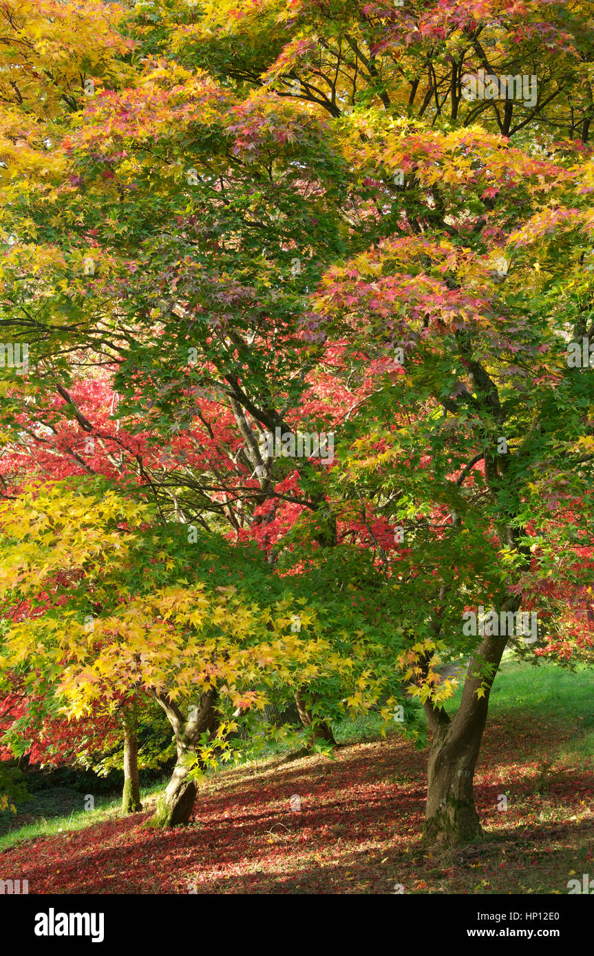 Fall, Autumnal colours. The colourful foliage of a Japanese Maple ...