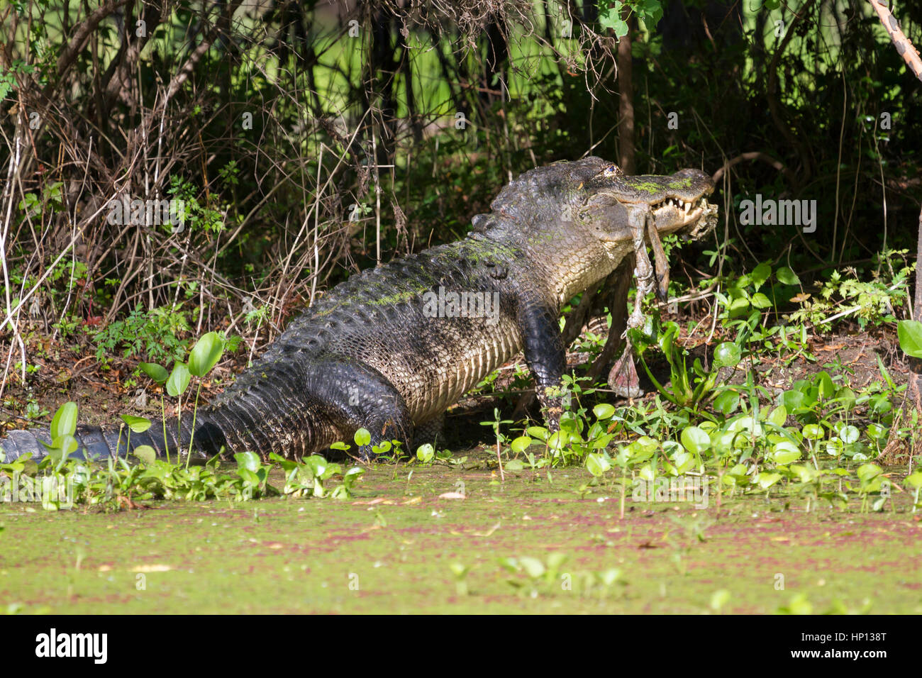 alligator at Brazos Bend State Park eating a pray - Stock Image