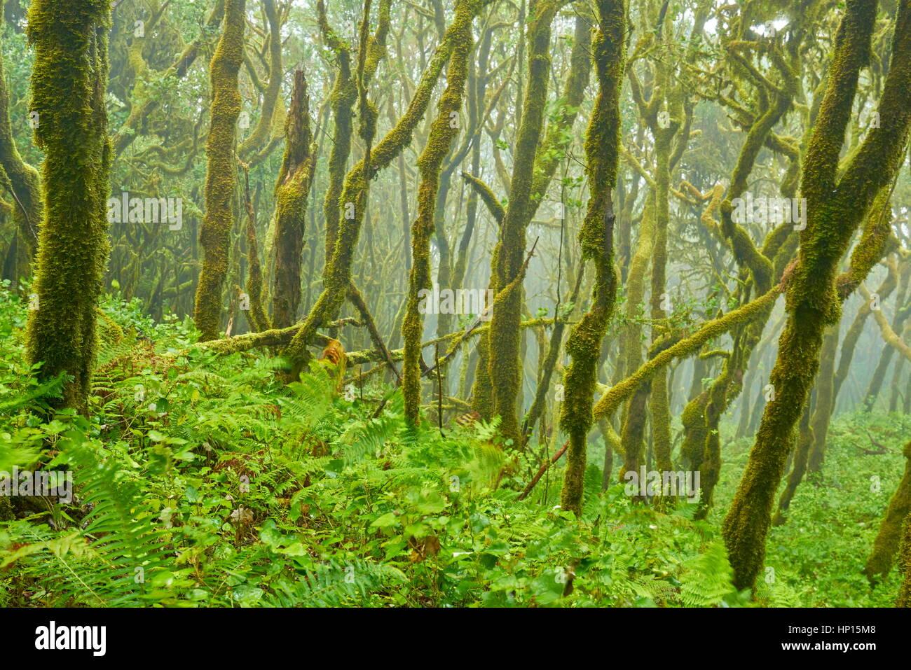 Laurel forest, Garajonay National Park, La Gomera, Canary Islands - Stock Image