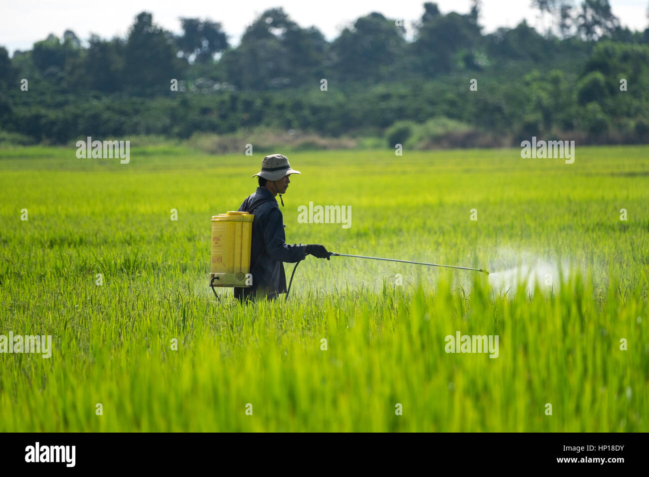 Farmer spraying pesticide on rice field - Stock Image