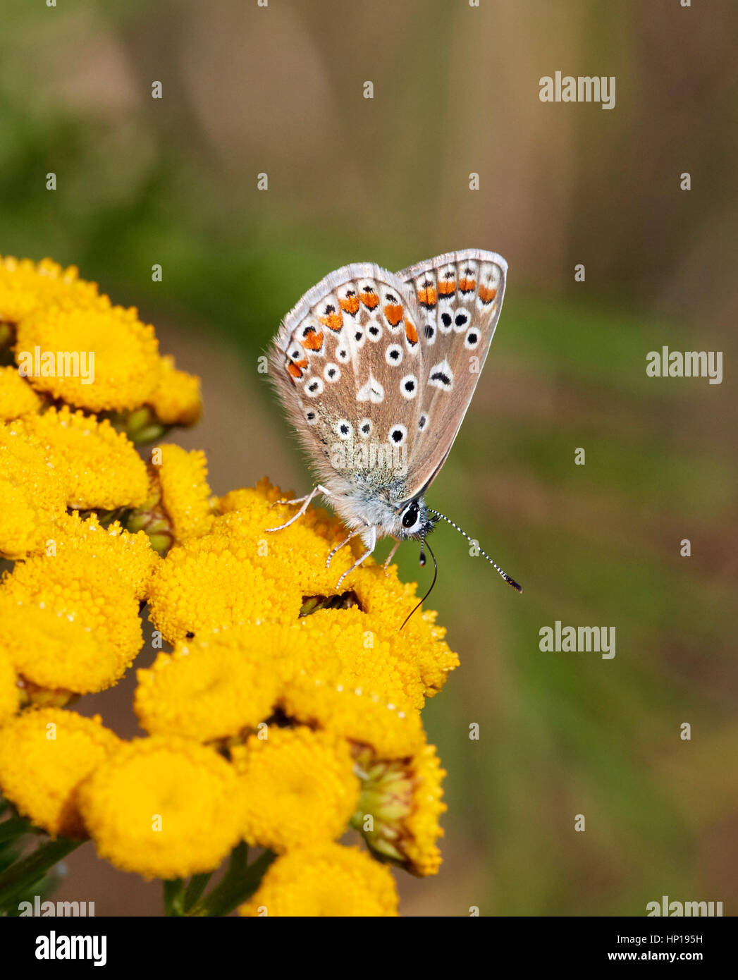 Common Blue nectaring on Tansy flowers. Hurst Park, West Molesey, Surrey, UK. - Stock Image