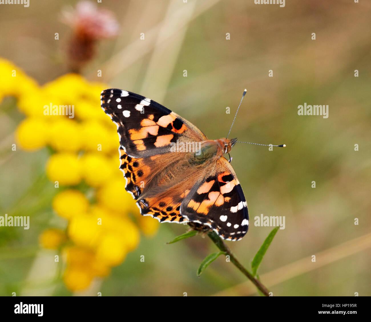 Painted Lady nectaring on Knapweed. Hurst Park, West Molesey, Surrey, UK. - Stock Image