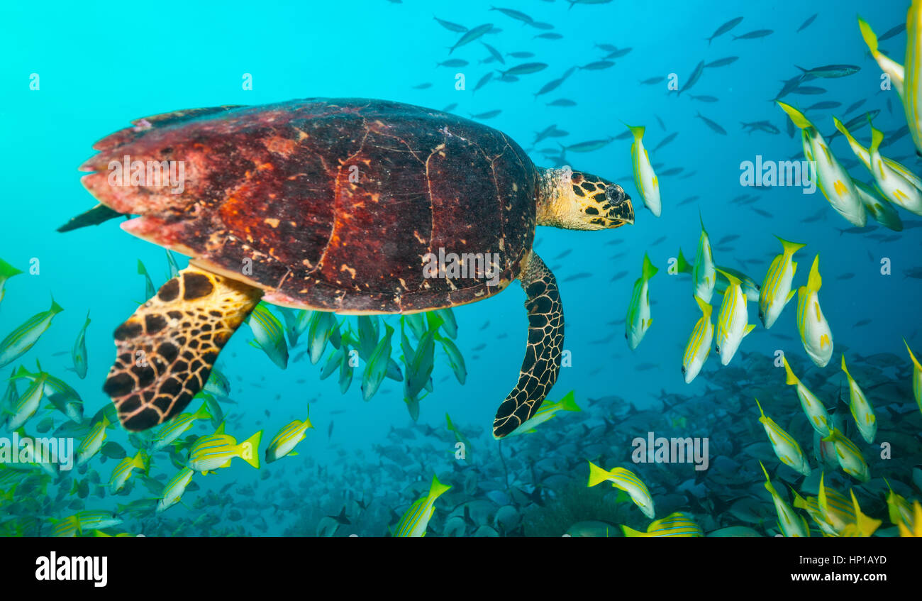 Maldivian hawkbill turtle floating in flock of yellow fish. Underwater life and ocean ecosystem - Stock Image
