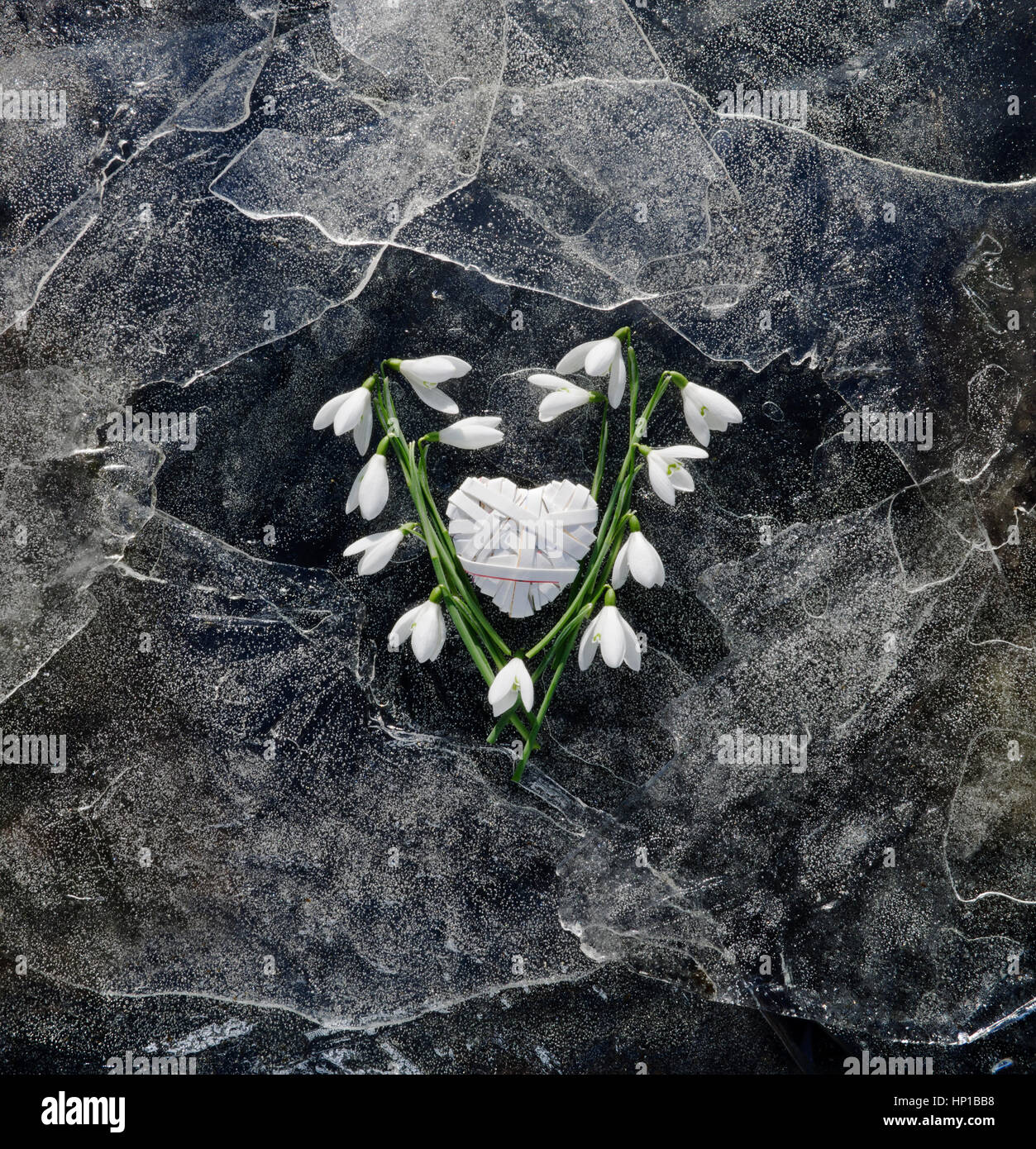 Snopdrop flowers and heart of folded card on thin sheets of cracked ice Stock Photo