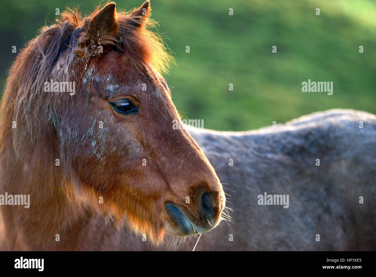 Ripe, East Sussex, UK. 17th February 2017. UK Weather. A horse enjoys warm evening sun after a beautiful day in - Stock Image
