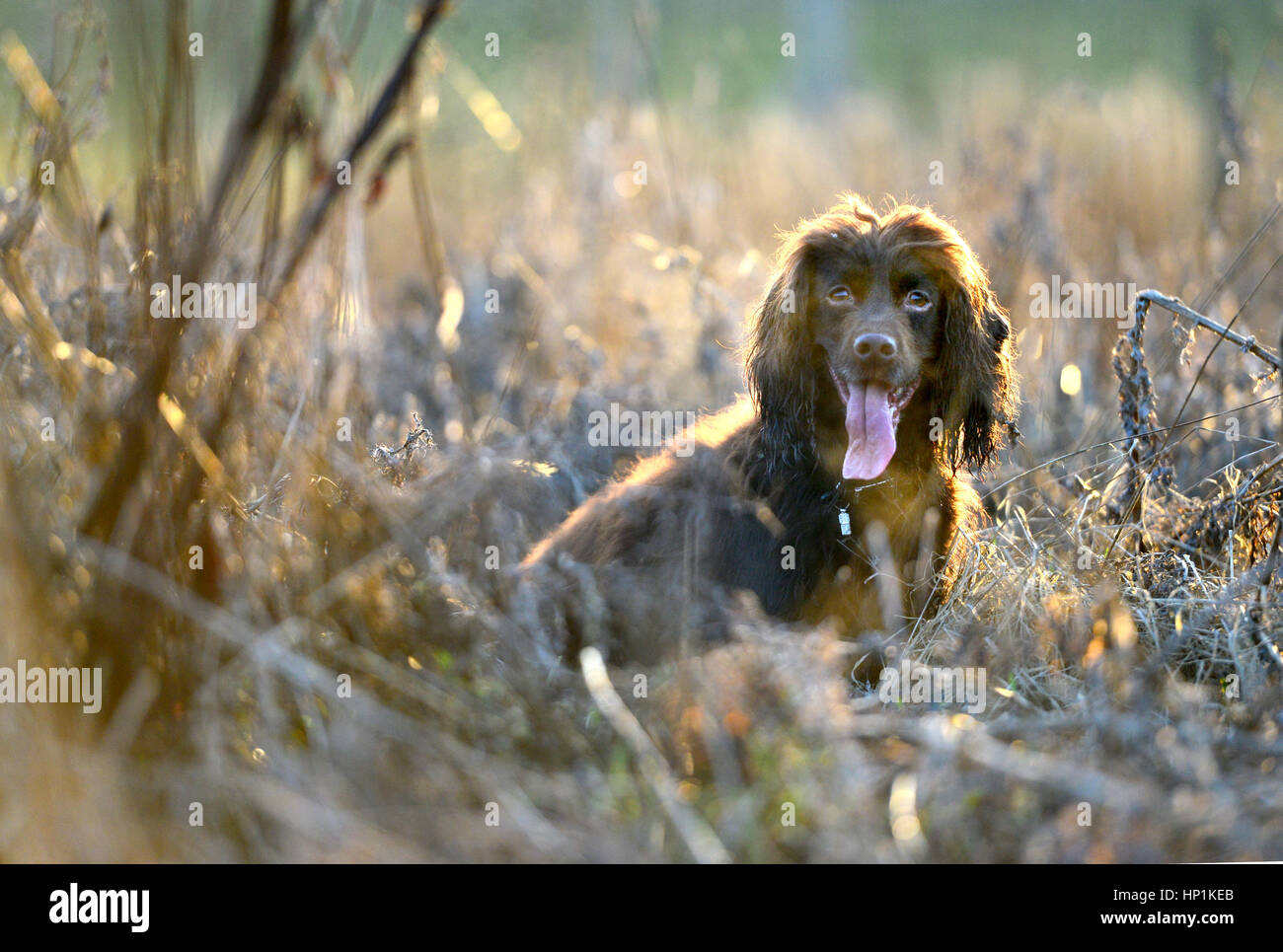 Ripe, East Sussex, UK. 17th February 2017. UK Weather. A cocker spaniel enjoys warm evening sun after a beautiful - Stock Image